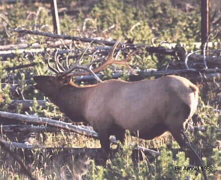 This is a beautiful Bull Elk just before the start of hunting season in 1996