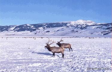 During the hard months of winter the Elk will go to their winter grounds. Here you will see Elk on The National Elk Refuge.