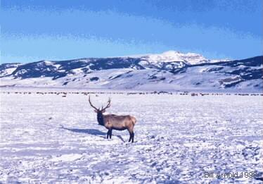 During the hard months of winter the Elk will go to their winter grounds. Here you will see Elk on The National Elk Refuge. Note the Elk in the background.